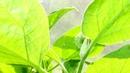 КАК ИЗБАВИТЬСЯ ОТ ПАУТИННОГО КЛЕЩА НА КОМНАТНЫХ РАСТЕНИЯХ И НЕ ТОЛЬКО Садовый мир рекомендует
