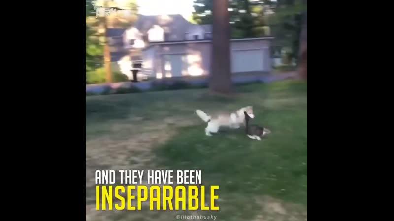 Котёнок которого воспитали собаки
