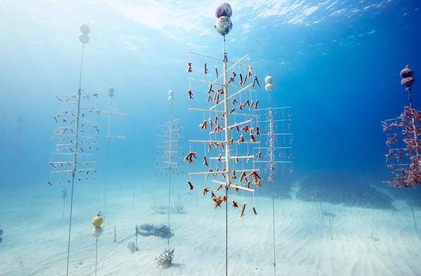 «Ремонт рифов». Более 400 коралловых «деревьев» растут в этом питомнике во Флориде. Цель проекта вырастить кораллы. В дикой природе они находятся под угрозой из-за потепления и закисления