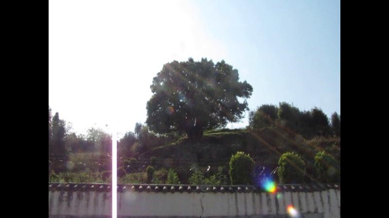 Пыль горных дорог на объективе камеры, снимающей старейшее чайное дерево Земли.