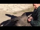 Heart warming moment condor shares a hug with rescuer