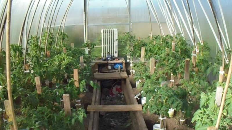 На 10 кв. метрах посадил 140 кустов помидор.После первой подкоромки 19 05 2019 г.