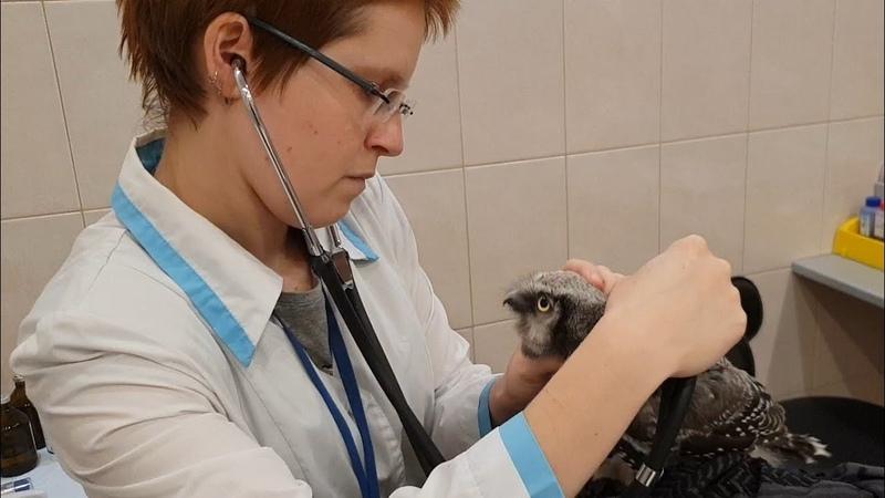 Осмотр совёнка Ивы у ветеринара. Очень много совиного негодования!