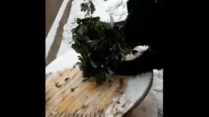 Гималайский медведь Гай