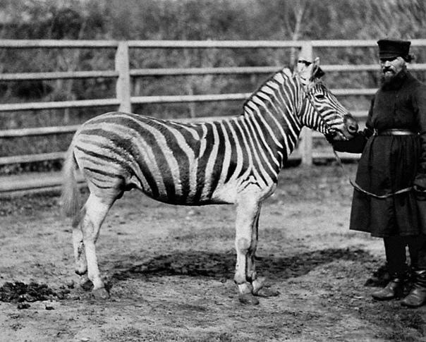 ИСТОРИЯ МОСКОВСКОГО ЗООПАРКА Долгое время содержание диких животных в неволе было аристократической забавой. Зверинцы и потешные дворы появились на Руси в начале XVI века благодаря царской