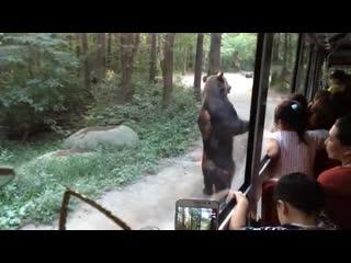 Bears stun tourist as they walk on hind legs