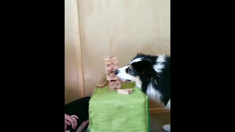 Doggo Plays Jenga