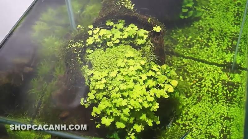 Setup Bể Kính Thủy Sinh Nuôi Cá Cảnh Bố Cục CỘI NGUỒN (Creative Planted Aquarium Fish Tank)