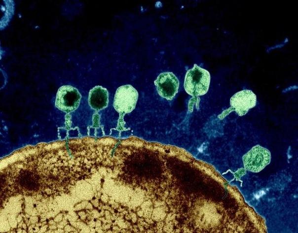 Фото, сделанное с помощью электронного микроскопа показывает как бактериофаги уничтожают оболочку бактерий за счет внедрения в их клетку. (фото раскрашено)