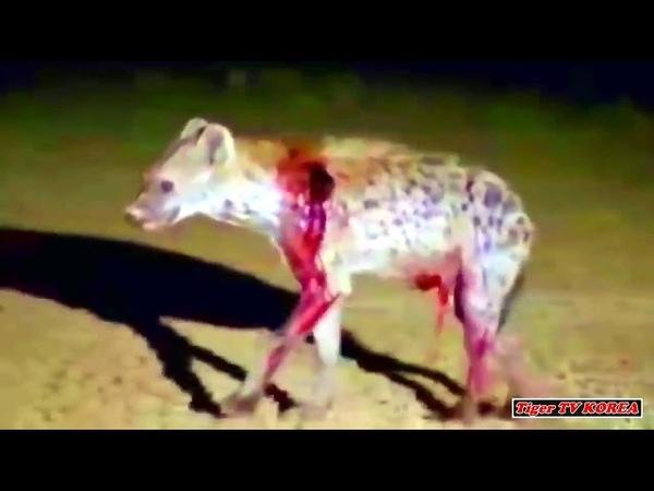 🔥잠자는 사자 습격하다 개박살난 하이에나의 최후