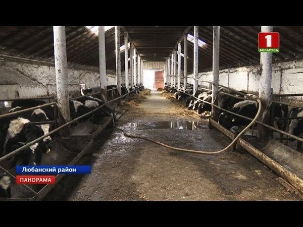 Гибель более 100 коров пытался скрыть руководитель агропредприятия. Панорама