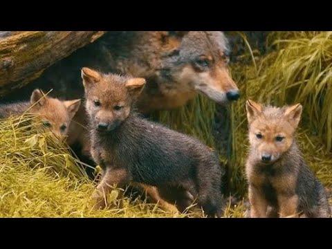 Волчица приходила в деревню за едой в течении трёх месяцев