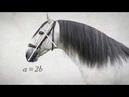 Новое руководство ANCCE по морфологии лошадей чистокровной испанской породы