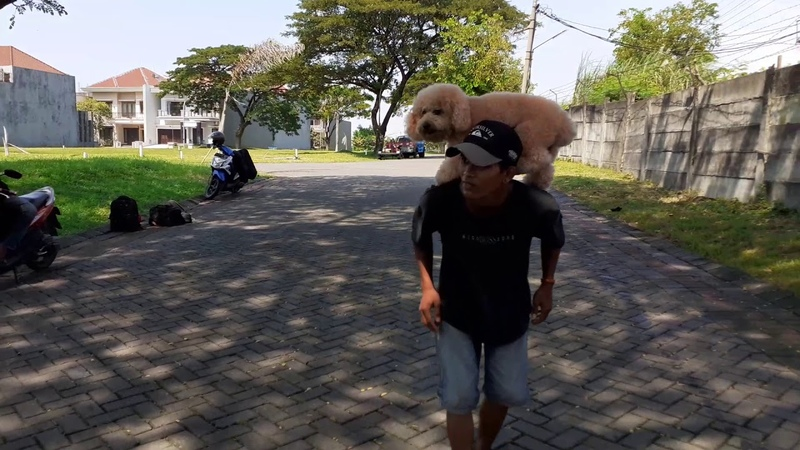 PROSES LATIHAN ANJING Dog trainner Surabaya.