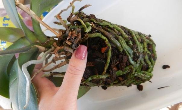 Почему корни орхидеи гниют и сохнут