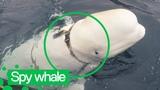 'Russian spy' Beluga Whale Seen in Norwegian Waters
