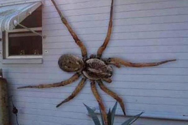 Существуют ли на самом деле пауки-людоеды