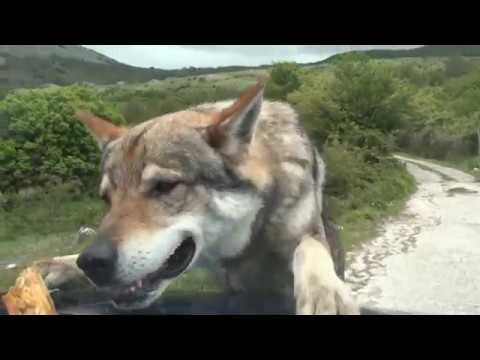 Incontro con un lupo ( imprevisti in montagna ) - by diavolorosso -