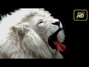 BBC Documentary 2017 Animal Planet Extremely Rare White Lion Cubs Best Documentary