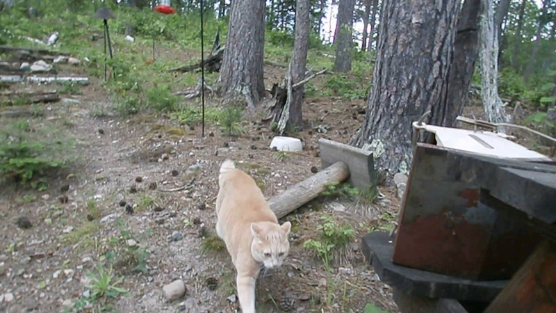 Cat chases bear pt 2