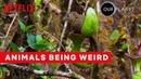 Weirdest Animal Behavior Our Planet Netflix