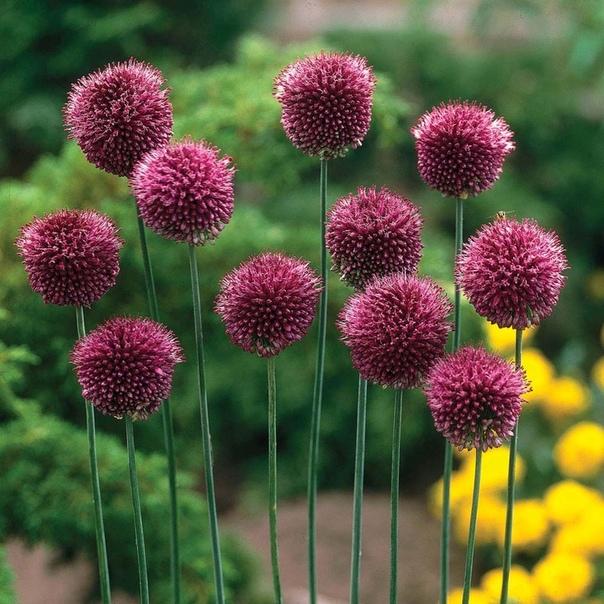 АЛЛИУМ Аллиум (алиум) - декоративный лук, отличается красотой и разнообразием и украсит любой сад и участок яркими шаровидными соцветиями. Аллиум - неприхотливое луковичное растение, начинает