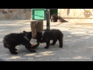 Арбузные дни у малышей медвежат. тайган. watermelon days for bears. taigan