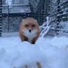 Ti amo, Foxy