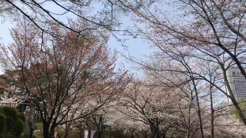 Фестиваль цветения вишни у озера Сокчхон 석촌호수 VisitKorea ✈️🇰🇷