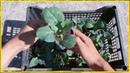 Хочешь быть с капустой делай так Как вырастить крепкую рассаду капусты