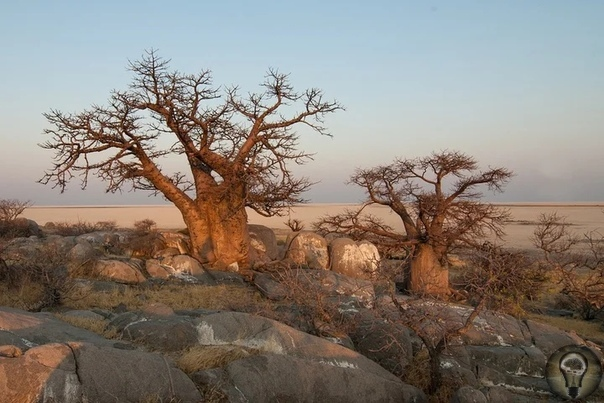 Интересные факты о баобабе: дереве, которое не горит в огне и живёт 5 тысяч лет Невероятным долголетием природа наделила африканский баобаб известны экземпляры, возраст которых более пяти тысяч