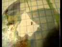Влияние подсолнечного масла на муравьев - эксперимент.