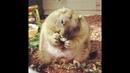 Бака-жиробака! Что если сурок жирный и не гонит суриката прочь?