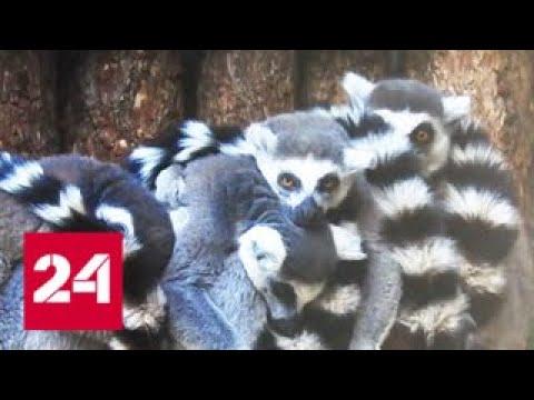 Москвичам показали малышей кошачьих лемуров - Россия 24