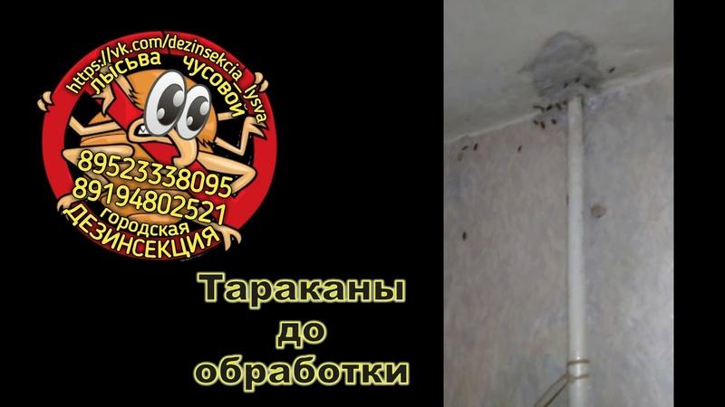 Дезинсекция Лысьва Чусовой Тараканы до и после обработки (Наши работы)