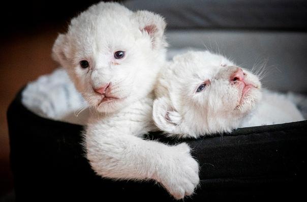 Белые львята Нала и Симба, родившиеся в конце июля, лежат в своей корзинке в центре реабилитации крупных кошек Caresse de Tigre, Нормандия, Франция Еще недавно белых львов считали легендой, но в