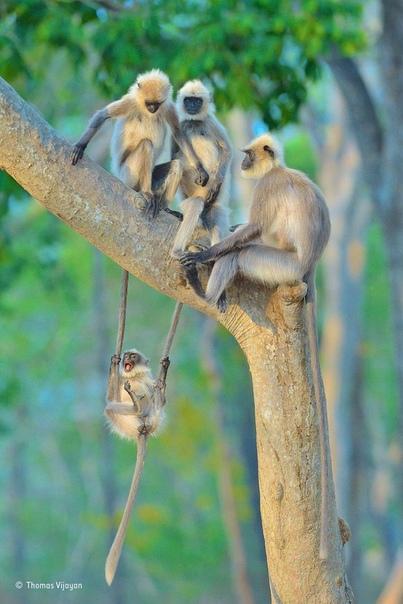 Этот забавный момент сумел подловить фотограф дикой природы Томас Виджайян