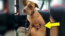 Мужчина решил приютить питбуля, но собака отказалась бросать своего лучшего друга