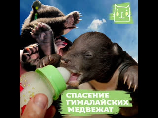 Волонтеры спасают мишек-сирот в Хабаровском крае