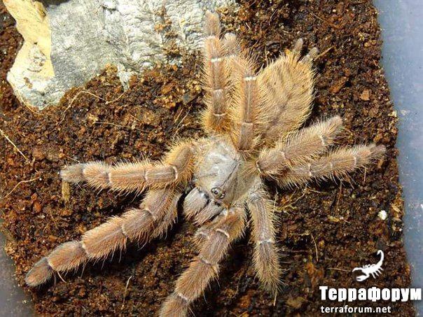 Phormingochilus sp rufus
