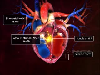 Hcl learning digischool - structure of the human heart