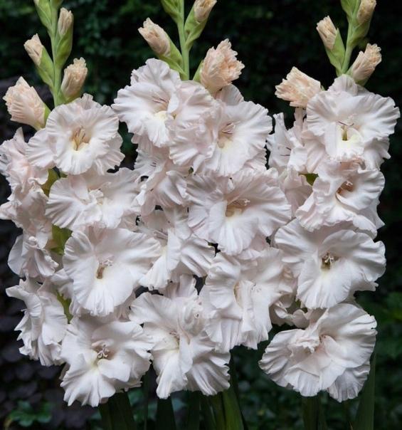 Подкормки для гладиолусов обеспечат длительное и обильное цветение Как только на растении появятся два-три настоящих листка используют аммиачную селитру, мочевину или же сульфат аммония. Во