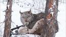Спасение животных шанс на жизнь! Спасения из браконьерских ловушек