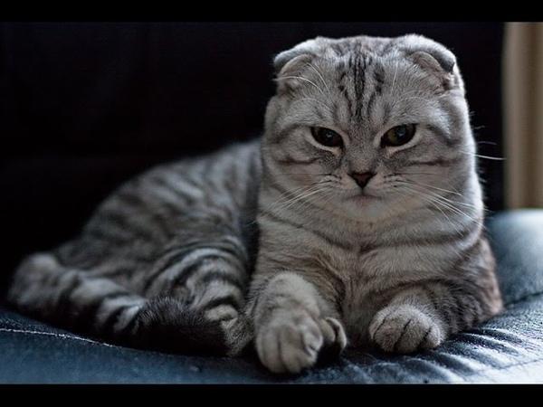 Шотландские кошки: особенности и уход. Породы кошек. Дай Лапу