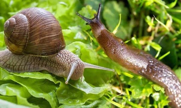 Разница между слизняком и улиткой Главное отличие между слизняком и улиткой в том, что Слизняк - это тип улитки, у которого отсутствует заметная раковина, тогда как улитка - это раковина
