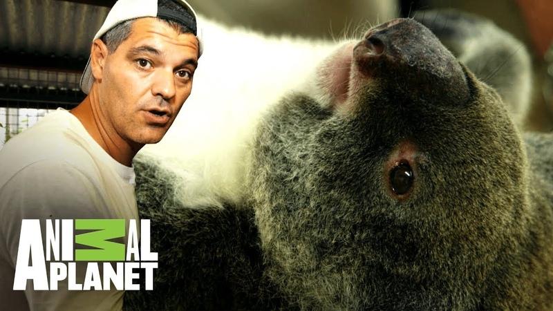 Clamidia devasta población de koalas | Wild Frank:Tras la evolución de las especies | Animal Planet