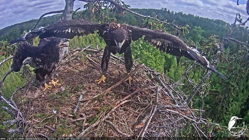 Jūras ērglis ~Eaglets are jumping Mika attacked big sister~16:00 2019/06/02
