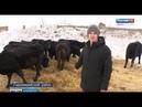 Молодой фермер из Марий Эл ждет пополнения от телочек Абердин-Ангусской породы