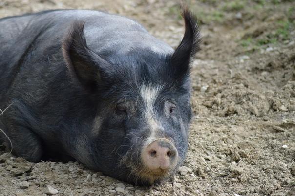 Девочка и свинья