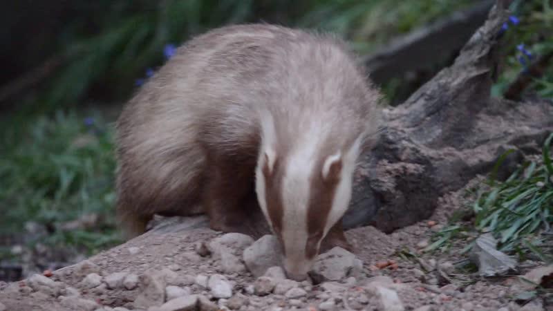 Erythristic badger